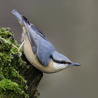 Buy canvas prints of  Woodland Nuthatch by Robert Stocker
