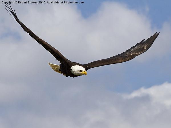 Bald Eagle in Flight Canvas print by Robert Stocker