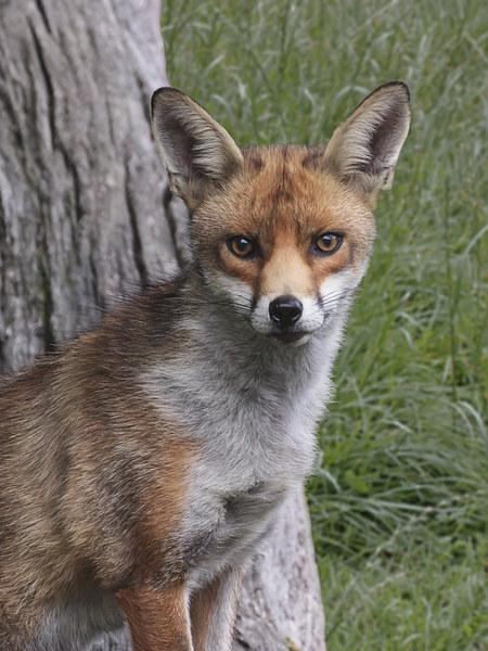 Red Fox UK Canvas print by Robert Stocker