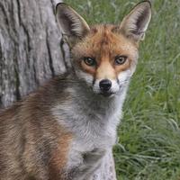 Buy canvas prints of  Red Fox UK by Robert Stocker