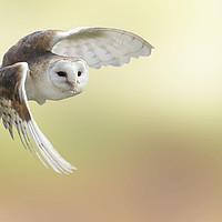 Buy canvas prints of Barn Owl Inflight by Mark McElligott