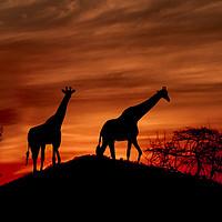 Buy canvas prints of Giraffe Silhouette  by Mark McElligott