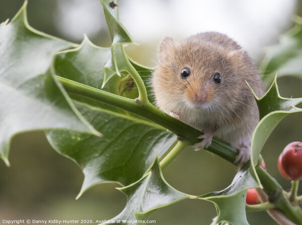 Harvest Mouse on holly Framed Mounted Print by Danny Kidby-Hunter