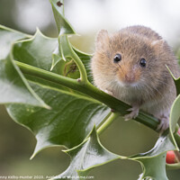 Buy canvas prints of Harvest Mouse on holly by Danny Kidby-Hunter