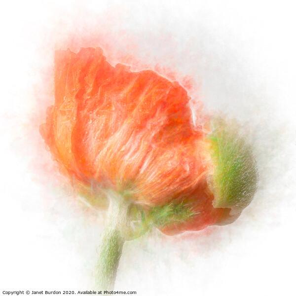 Poppy Framed Mounted Print by Janet Burdon