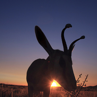 Buy canvas prints of springbok at sunset by Gail Johnson