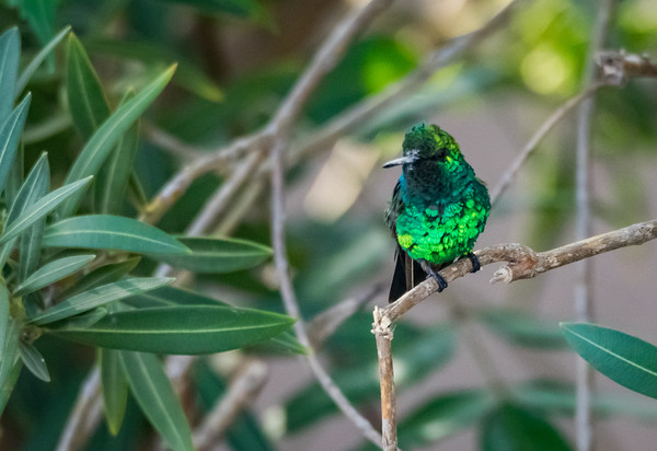 Emerald Green hummingbird in Curacao  Canvas print by Gail Johnson