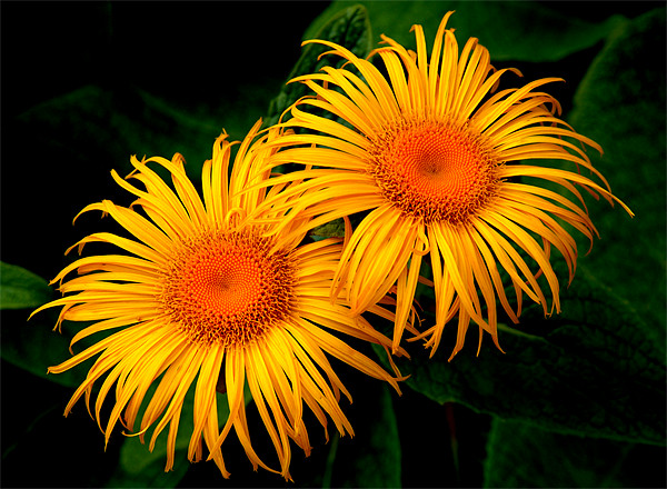 Two Daisies Print by Stephen Maxwell