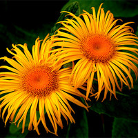 Buy canvas prints of Two Daisies by Stephen Maxwell