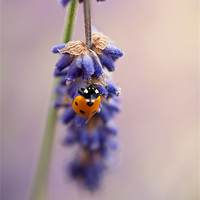Buy canvas prints of Ladybird and Lavender by John Edwards
