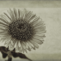 Buy canvas prints of Aster with Textures by John Edwards