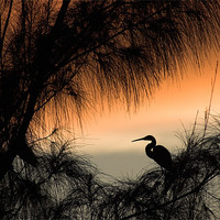 Buy canvas prints of Home to Roost. A Snowy Egret (Egretta thula) by John Edwards
