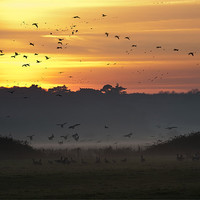Buy canvas prints of Pink-footed geese at Holkham, Norfolk, UK by John Edwards