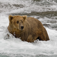 Buy canvas prints of Grizzly by sharpimage.net