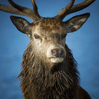 Buy canvas prints of  Majestic Stag by Kish Woolmore