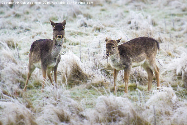 baby deer, first frost Canvas print by Kish Woolmore