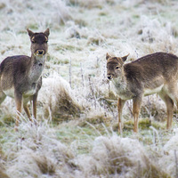 Buy canvas prints of  baby deer, first frost by Kish Woolmore