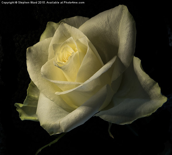 THE ROSE Canvas print by Stephen Ward