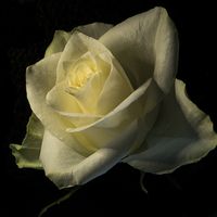Buy canvas prints of  THE ROSE by Stephen Ward
