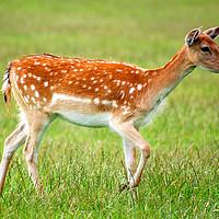 Buy canvas prints of Deer  by pristine_ images
