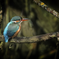 Buy canvas prints of  Female Kingfisher by Peter Jones