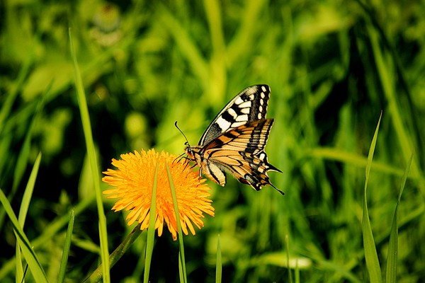The Old World swallowtail (Papilio machaon) Canvas print by Svetlana Korneliuk