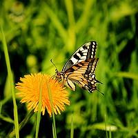 Buy canvas prints of The Old World swallowtail (Papilio machaon) by Svetlana Korneliuk