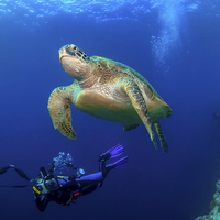 Buy canvas prints of Underwater turtle and photographer by Super Jolly