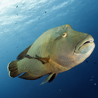Buy canvas prints of Underwater fish and coral reef, napoleon wrasse by Super Jolly