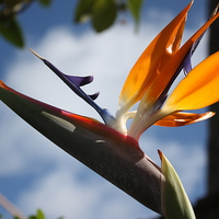 Buy canvas prints of  Hawaii Bird of Paradise flower by Terrance Lum