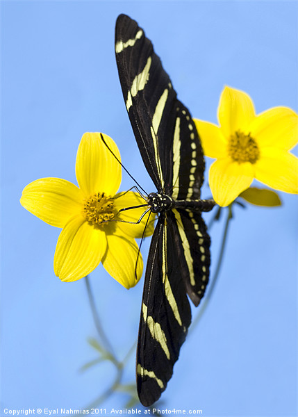 A zebra longwing butterfly, Heliconius charitonius Framed Mounted Print by Eyal Nahmias