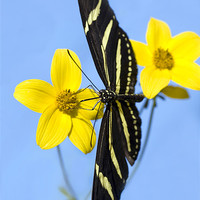 Buy canvas prints of A zebra longwing butterfly, Heliconius charitonius by Eyal Nahmias