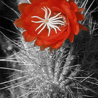 Buy canvas prints of Red Cactus flower blossom by Eyal Nahmias