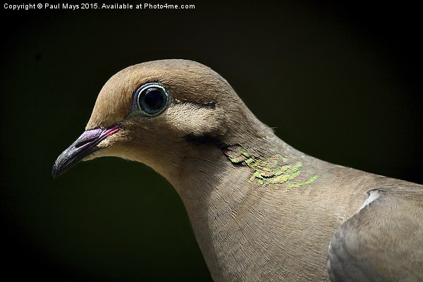 Mourning Dove Print by Paul Mays