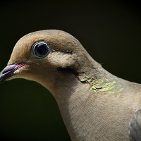 Buy canvas prints of Mourning Dove by Paul Mays