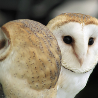 Buy canvas prints of  Two Little Barn Owls by Craig Williams