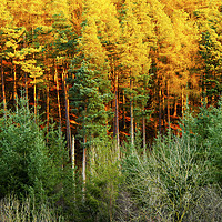 Buy canvas prints of  Autumn Trees by Svetlana Sewell