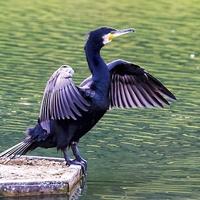 Buy canvas prints of  Cormorant Drying Wings by John Vaughan
