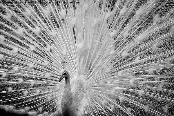 White Peacock Displaying Canvas print by Len Brook