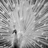 Buy canvas prints of  White Peacock Displaying by Len Brook