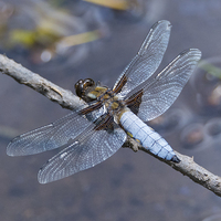 Buy canvas prints of  Broad Bodied chaser at rest by Ravenswood Imagery