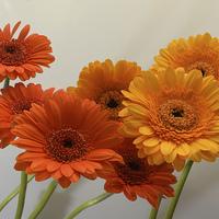 Buy canvas prints of  orange and yellow gerbera flowers by David Rankin