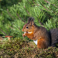 Buy canvas prints of Red Squirrel Sciurus vulgaris North Pennines Engla by David Forster