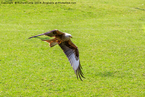 Red Kite Canvas print by Richard Long