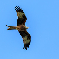 Buy canvas prints of Red Kite by Richard Long