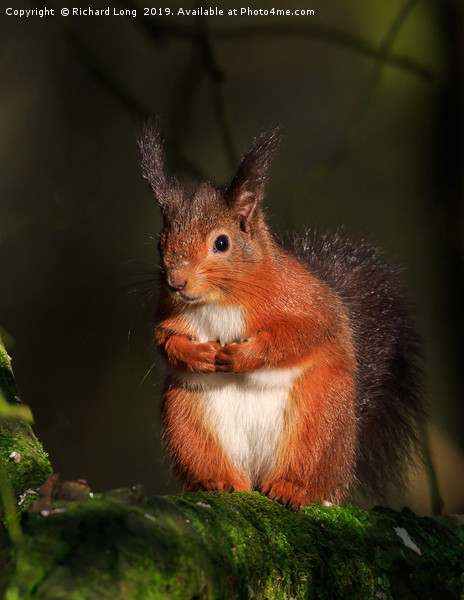 Red Squirrel  Canvas print by Richard Long