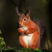 Buy canvas prints of Red Squirrel  by Richard Long