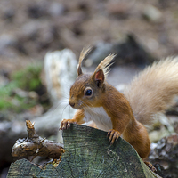 Buy canvas prints of  Red squirrel by Phil Reay