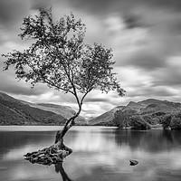 Buy canvas prints of The Lone Tree, Llyn Padarn, Llanberis by David Schofield