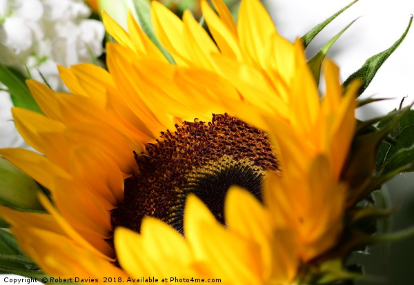 Sunflower Canvas print by Robert Davies